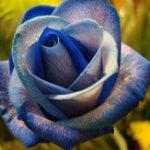 Оригинал Egrow 50Pcs / Pack Голландия Радуга Роуз Семена Садовый цветок Бонсай Семена