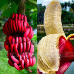 Оригинал Egrow 40Pcs / Pack Red Banana Семена Сад Бонсай из плодовых деревьев