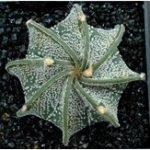 Оригинал Egrow 10Pcs / Pack Кактус Семена Астрофит Ornatum Суккулентный литос Бонсай цветок Семена