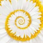Оригинал Egrow 30Pcs / Pack White Miracle Daisy Семена Сад Hardy Bonsai Plants Редкий Декоративный цветок Семена