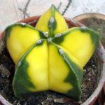 Оригинал Egrow 10Pcs Yellow Cactus Семена Meaty Растение Семена Мини суккулентный бонсай Растениеs Семена Для дома Сад