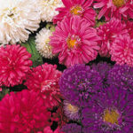 Оригинал Egrow 50Pcs / Pack Callistephus Семена Карликовые растения Цветы для Сад Патио Балкон бонсай