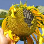 Оригинал Egrow 30Pcs / Pack Giant Sunflower Семена Главная страница Сад Посадка декоративных растений