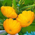 Оригинал Egrow 10Pcs / Pac Летающий тарелка тыквы Семена Фрукты Овощной Семена Сад Бонсай украшения