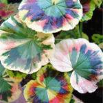 Оригинал Egrow 100Pcs / Pack Colorful Janpanse Coleus Семена Сад Лиственные растения Цветы Бонсай