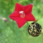 Оригинал Egrow 20Pcs / Pack Cypress Vine Семена Красная белая садово-огородная дверь Восхождение на цветы Растения