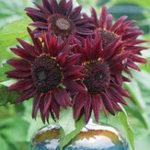 Оригинал Egrow 20Pcs / Pack Wine Red Sunflower Семена Сад Декоративные растения Горшечный цветок Семена