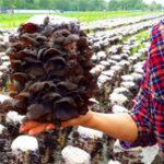 Оригинал Egrow 50Pcs / Pack Agaric Семена Здоровые пищевые растительные грибы Черные грибные растения Семена