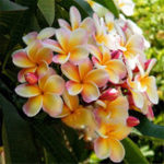 Оригинал Egrow 100Pcs / Pack Plumeria Семена Сад DIY Bonsai Гавайские украшения Frangipani Flower Семена
