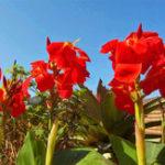 Оригинал Egrow 100Pcs / Pack Canna Lily Семена Сад На открытом воздухе Бонсай Тропический бронзовый цветок алой Семена