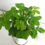 Оригинал Egrow 30Pcs / Pack Mimosa Семена Сад Courtyard Bashful Grass Sensitive Potted Plants