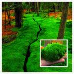 Оригинал Egrow 100Pcs / Pack Moss Семена Главная DIY Бонсай Украшение Травы Семена Горшечные растения Семена
