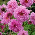 Оригинал Egrow 100Pcs / Pack Хризантема Семена Двойной многоцветный цветок Cosmos Семена Бонсайские растения