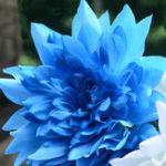 Оригинал Egrow 10Pcs / Pack Blue Dah lia Семена Садоводство Многолетник Pinnata Бонсай Растение Цветок Семена