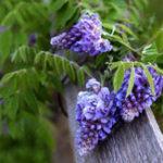 Оригинал Egrow 10Pcs / Сумка Сад Creepers Wisteria Семена Редкий Bonsai Tree Семена Декоративные Растение Цветы Семена