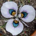 Оригинал Egrow 40Pcs / Сумка Blue Eyes Moraea Семена Moraea Iridioides Flower Семена 40 Семена Китайские характеристики Цветок Семена Экзотические растения Сад Home Bonsai Plant Се