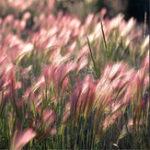 Оригинал Egrow 30Pcs / Сумка Rabbit Tail Grass Семена Травяной ячмень Hordeum Jubatum Herb Семена для дома Сад Новый дом Сад Растения Семена
