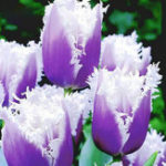 Оригинал Egrow 50Pcs / Сумка Tulip Семена Редкий Bonsai Flower Семена Мороженое как прекрасные тюльпаны Комнатные многолетние сады Tulip Plants Семена