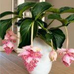 Оригинал Egrow 100Pcs / Pack Medinilla Magnifica Flower Семена Красивые растения бонсай для дома Сад Декор