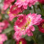 Оригинал Egrow 40Pcs / Pack Ball Хризантема Семена Мягкая обложка Bonsai Балконные растения