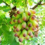 Оригинал Egrow 50Pcs / Pack Grape Fruit Семена Главная Сад Балкон во дворе Съедобные растения Деревья