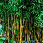 Оригинал Egrow 20Pcs / Сумка Черный Bamboo Семена Редкий Giant Black Moso Bamboo Bambu Семена Профессиональный пакет Bambusa Lako Tree Семена для дома Сад