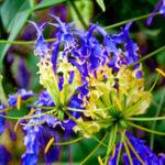 Оригинал Egrow 50pcs / Сумка Blue Flame Lily Семена Быстрорастущий бонсай Семена Экзотические цветковые растения Семена Сад Уникальные красивые цветы Семена