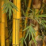Оригинал Egrow 50pcs / Сумка Golden Bamboo Семена Новые семена Редкий Золотое дерево бамбука Семена для дома Сад DIY Растения Редкий Бамбук качества Семена