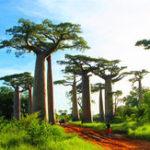 Оригинал Egrow 5Pcs / Сумка Adansonia Digitata Baobab Дерево Семена Редкий Многолетние растения Семена Редкий Редкий Baobab Семена Тропический завод Сад Семена Home & С