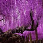 Оригинал Egrow 15Pcs / Сумка Редкий Цветок глицинии Семена Фиолетовый Вистерия Sinensis Sweet Семена для дома Сад Растения Sims Flower Семена