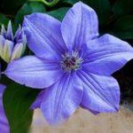 Оригинал Egrow 100Pcs / pack Clematis Семена Красивый скалолазание Растение Цветок Семена Бонсайский горшок Многолетние цветы