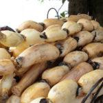 Оригинал Egrow 5pcs / Сумка Lotus Root Семена Китайский растительный корень лотоса Семена Водные растения Nelumbo Nucifera Семена