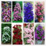 Оригинал Egrow 100pcs / Pack Смешанные цвета Clematis Семена Цветочные Vons Bonsai Многолетние скалолазание Растение