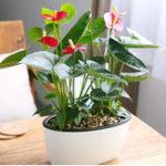 Оригинал 120Pcs / Сумка Anthurium Bonsai Крытые горшковые гидропонные цветы Семена Антуриум для офисного оформления Главная Сад Комнатные растения для комнат