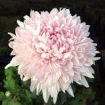 Оригинал Egrow 100Pcs / Pack 9 Цвета хризантемы Morifolium Семена Красивые DIY Сад Цветочные горшечные растения