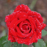 Оригинал Egrow 200Pcs / Pack Diamond Rose Семена Сад Посадочные растения для бонсай