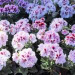 Оригинал Egrow 100 шт. / Шт. Одноствольные семена герани Многолетние цветы Пеларгониевые семена для внутреннего помещения