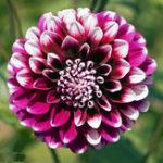 Оригинал Egrow 10Pcs / Pack Dah lia Семена Красивые многолетние цветы Семена Dah lia для DIY Начало Сад