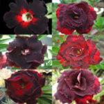 Оригинал Egrow 5Pcs / Pack Brown Black Desert Rose Семена Балкон Bonsai Декоративные цветы Adenium Plants