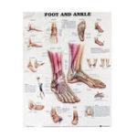 Оригинал Анатомия стопы и голеностопного сустава Анатомическая диаграмма Human Body Educational Home Decor