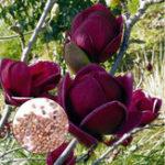 Оригинал Egrow 10Pcs / Сумка Магнолия Семена Глубокая фиолетовая черная магнолия Yulan Tree Flower Tulip Tree Семена