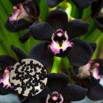 Оригинал Egrow 100Pcs / Сумка Черный Cymbidium Семена Уникальный черный бобзи Cymbidium Faberi Сад Семена