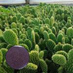 Оригинал Egrow 100Pcs / Сумка Opuntia Microdasys Семена Бонсай Суккулентные растения Зеленая радиационная защита Кактус