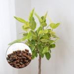 Оригинал Egrow 10Pcs / Сумка Banyan Tree Семена Rich Banyan Растение Крытое дерево бонсай Сад Горшок Растение Семена