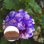 Оригинал Egrow 50Pcs / Сумка Герань Семена Ночь Голубой Герань Семена Яблочный цветок Rosebud Пеларгоний Многолетник Сад Цветок Семена