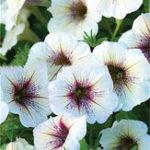 Оригинал Egrow 100 шт. / Упак. Утро Glory Цветочный бонсай Семена Мини-бонсай Цветочный Семена Вьющиеся растения