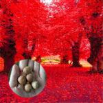Оригинал Egrow 2 шт. / Упак. Американский красный дуб Семена Красивое дерево DIY Дом Сад Растения Бонсай Легко выращивать