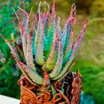 Оригинал Egrow 100 шт. / Упак. Алоэ Семена вера Растение бонсай съедобная красота съедобная косметика