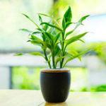 Оригинал Egrow 30 шт. / Упак. Lucky Bamboo Семена Бонсай Абсорбирующее дерево пыли