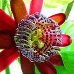 Оригинал Egrow 100Pcs / Pack Passiflora Семена Цветочные Флорес Вайн Фрукты Passiflora Бонсай Растение Растениеas DIY Главная Сад